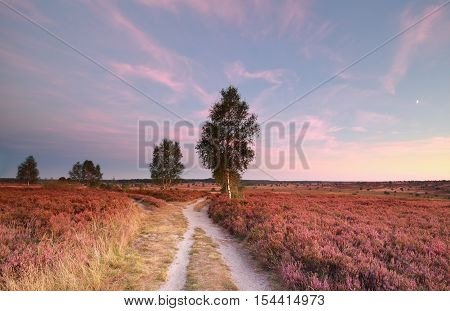 split path at sunset and heather flowers Wilsede Germany
