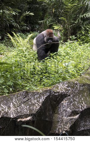 wild lonely big endangered gorilla in the forest