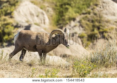 A male bighorn sheep in the badlands.