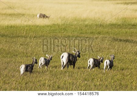 A female bighorn sheep with lambs in a grassland.