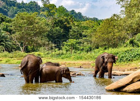 Group of elephants in river on SriLanka