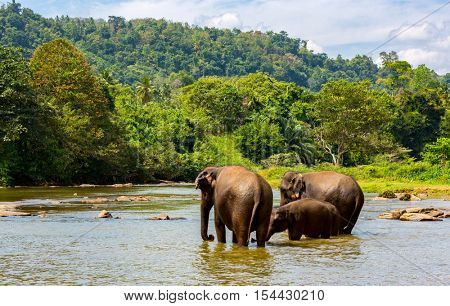 Three fanny elephants in jungle river
