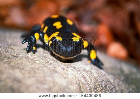 Fire Salamander On The Stone In Nature.