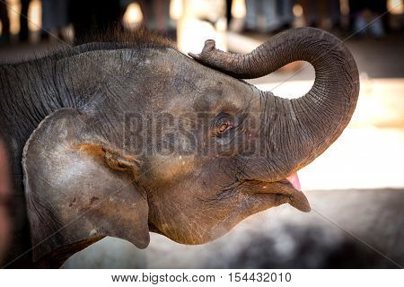 Funny young elephant in zoo, take it in SriLanka