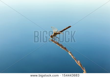 Beautiful dragonfly.Yellow dragonfly with transparent wings outdoors sits on the wheat ear against the background of the blue sky.