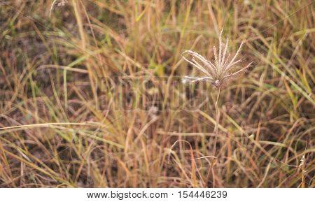 Poaceae grass on blurly backgroud of yellow glass field