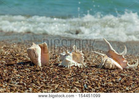 Seashells on the beach. Three beautiful white seashells lying on the beach close up against the blue sea.