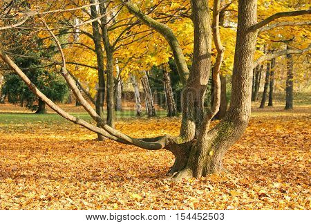 tree with bare crooked branches in the autumn park and ground under it covered with colorful leaves