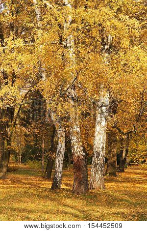 three birches with beautiful bright yellow leaves and white trunks in the park in autumn