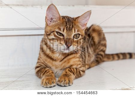 Bengal cat.Red Bengal cat lying lazily on the white steps narrowing his eyes.