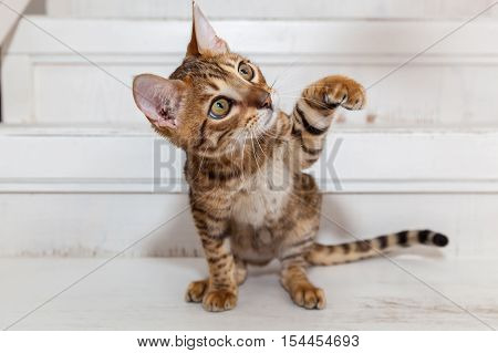 Bengal kitten playing.Beautiful little Bengal kitten sits on the white stairs looking at toy and playing.