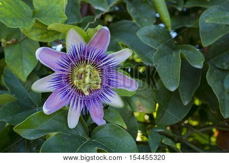close up a purple flower of passion fruit