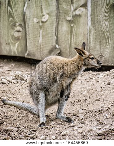 Red-necked wallaby or Bennett's wallaby - Macropus rufogriseus. Animal scene. Vertical composition.