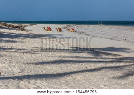 Camels. Three saddled camels lying in a row on the sandy shore.