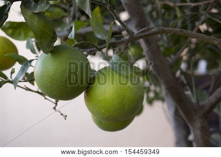 a plant of oranges with unripe fruit