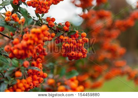 Bunch of rowan bright orange color on the tree branch surrounded by rich green leaves.