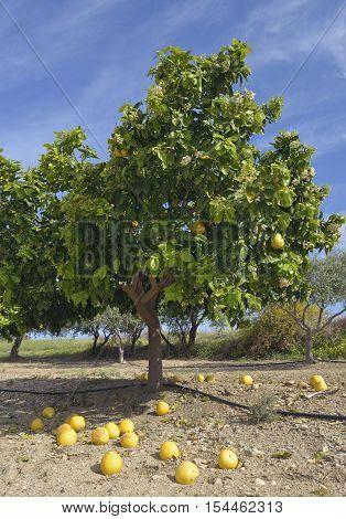 Pomelo - Citrus maxima Tree with Fallen Fruit