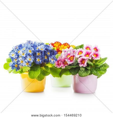 Spring primrose flowers. Flowerpots with colorful primula isolated on white background clipping path included