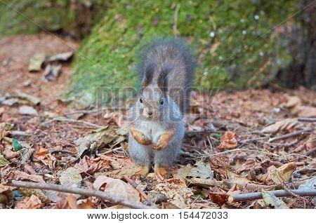 Eastern Gray Squirrel (Sciurus carolinensis) portrait searching for food. Wildlife autumn background