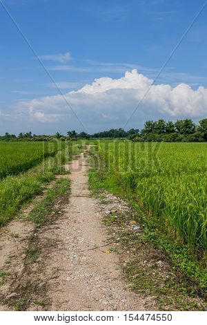 ChiangMai Thailand. October 15-2016: The rice fields in the countryside of Chiang Mai province are standing for harvest between community route.
