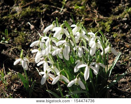 Blooming snowdrops in spring near the house