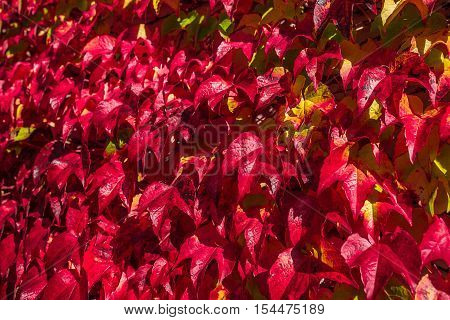 autumn red yellow and magenta leaf outdoor