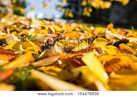 autumn golden and yellow leaf outdoor scene