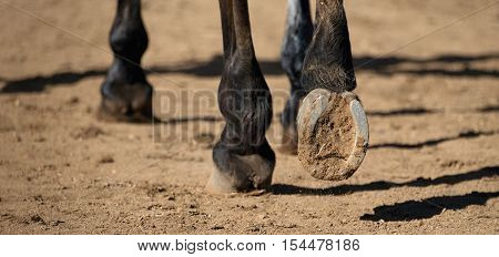 Detailed view of horse hoof foot outside stables,view from behind