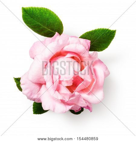 Pink rose flower with leaves. Single object isolated on white background clipping path included. Summer garden flowers. Top view flat lay
