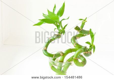 Sander Dracaena (lucky bamboo) in a glass of water. White background.