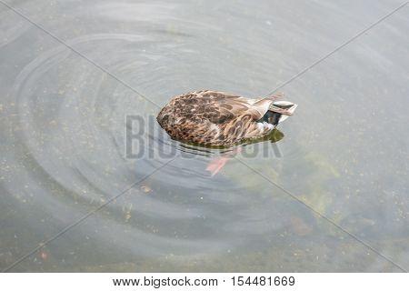 Ducks In Hyde Park, London, Uk.