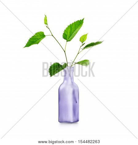Green spring leaves branch in vase. Lilac bottle with healing plants. Floral design. Single object isolated on white background clipping path included