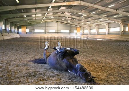 Funny brown horse rolling on the ground in empty riding hall. Note: Visible grain at 100% best at smaller sizes