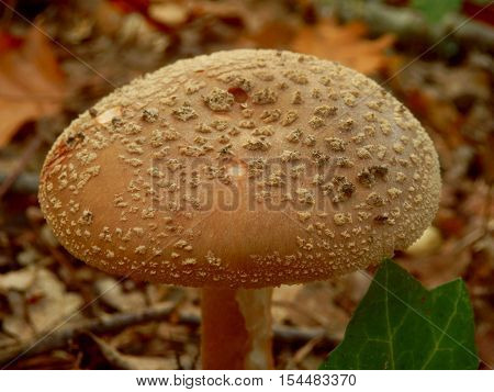 Close up of Amanita Rubescens also known as The Blusher, showing a convex cap covered in warts.