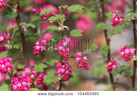 Red flowering Currant Ribes sanguineum  for background