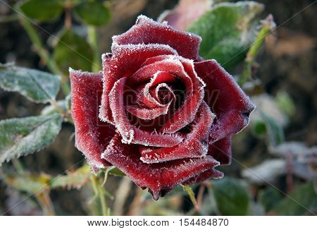 Beautiful red rose in the frosty morning in the garden with shallow depth of field