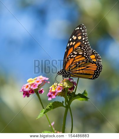 Monarch butterfly (Danaus plexippus) feeding on Lantana flowers