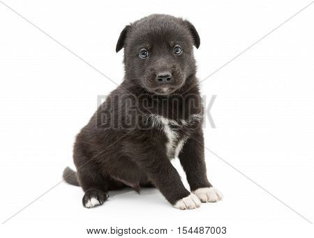 Small and serious black puppy isolated on white