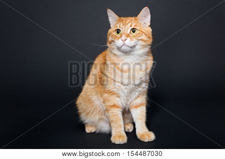 Big beautiful red cat on a black background