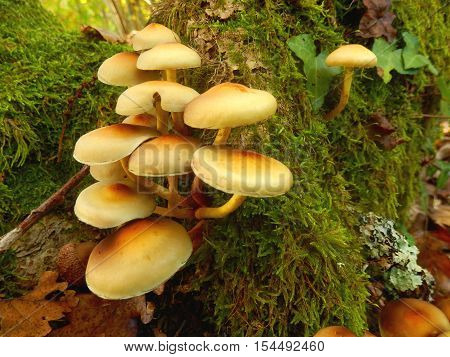 Hypholoma fasciculare (aka sulphur tuft, sulfur tuft or clustered woodlover) growing through the moss on a tree trunk poster
