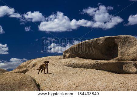 hunting dog is walking in the mountains Bektau ata