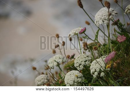 yarrow plants as a border with blurred beach behind