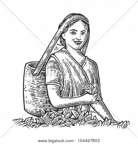 Female Tea Picker Harvesting leaves on plantation. Vector engraved vintage isolated illustration for label poster web. Black on white background.