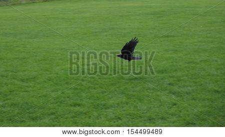 Crow (Corvus of family Corvidae) bird animal flying over a meadow