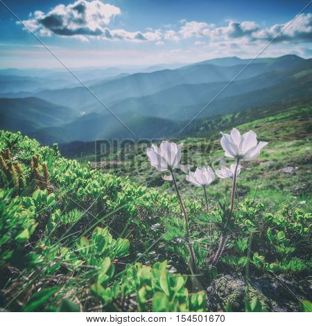 beautiful white flower in summer mountain, toned like Instagram filter