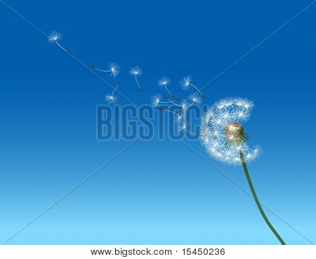 Dandelion seed parachutes