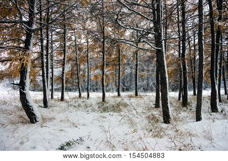 Trunks of trees in a snowy forest. Winter landscape