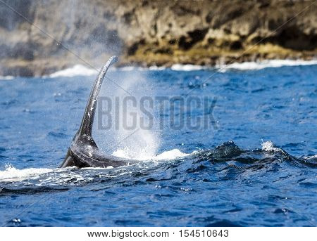 Migrating Humpback Whale Splashing Tale on Water