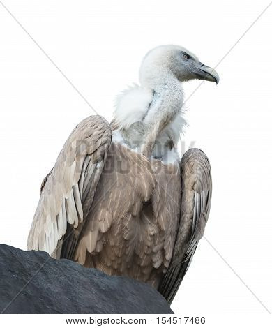 Griffon vulture (gyps fulvus) is sitting on a rock on white background