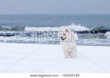 white Samoyed dog walks through the snow near the sea